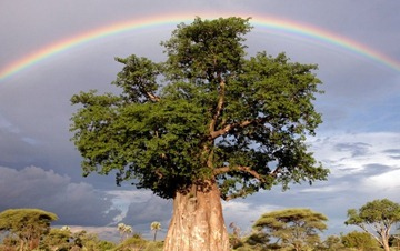 rainbow-over-baobab-tree1-794x500