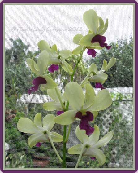 05-29-unkn-orchid5