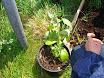 Planting school garden 008.jpg