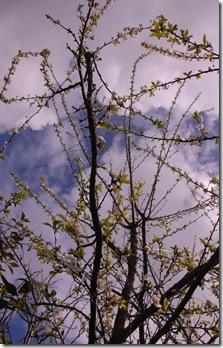 ameixieira