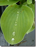 hd hosta leaf
