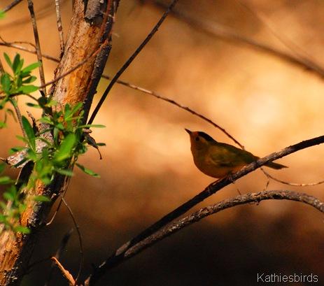15. wilson's warbler-kab