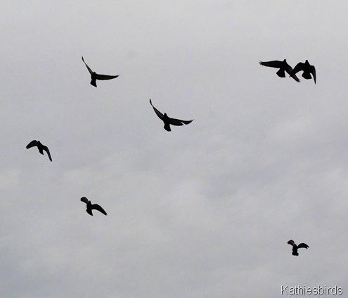 18. pigeons-kab
