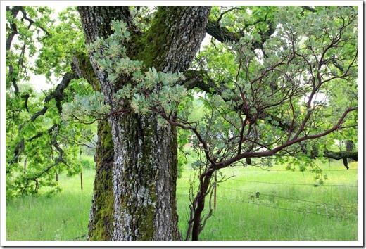 130407_Redding_Quercus-lobata_23