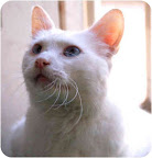 Billy - Stray Cat Alliance - Los Angeles.Billy is deaf and was found hit by a car not once but twice!He has fully recovered and simply wants a loving and safe home to call his own. He is super sweet and loves other kitties.(See the end of the post for Billy's adoption info.)