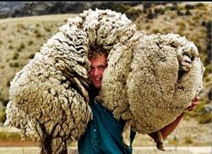 Amazing Pictures of Animals, Photo, Nature, Incredibel, Funny, Zoo, Mammals, Merino, Sheep, Alex (4)