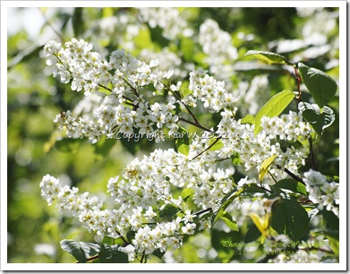 Lots of Bird Cherries are blossom now, and you can smell the a delicious scents in the air.