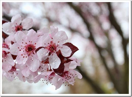 120228_Prunus-cerasifera-Krauter-Vesuvius_21