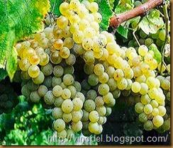 Сорт винограда Алиготе 1