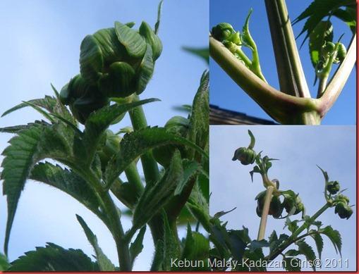 tree dahlia bud