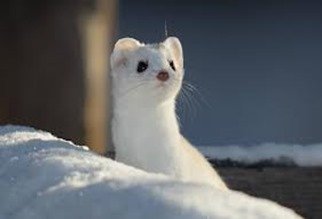 Amazing Pictures of Animals, photo, Nature, exotic, funny, incredibel, Zoo, Stoat, Mustela erminea, Alex (10)