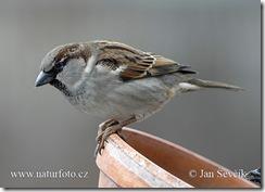 house-sparrow--vrabec_dom