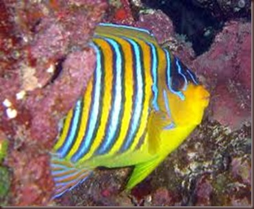 Amazing Pictures of Animals, photo Nature, exotic, funny, incredibel Zoo, Regal angelfish, Alex (8)