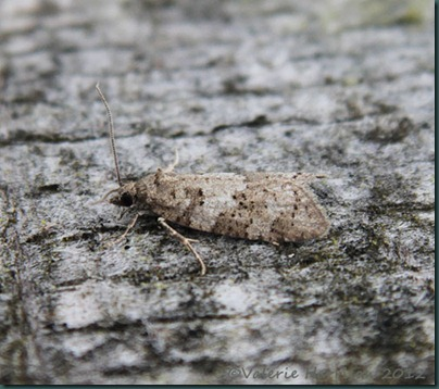 light-grey-tortrix-3