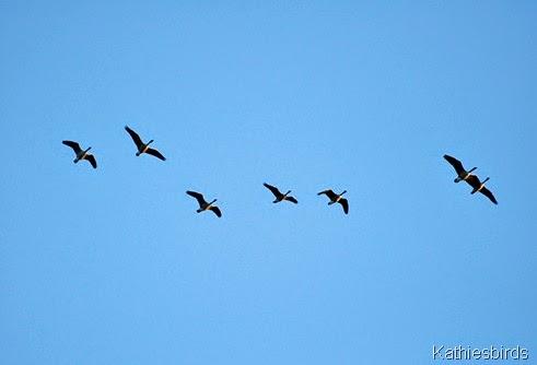 5. geese-kab