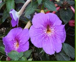 Achimenes Himalayan Purple