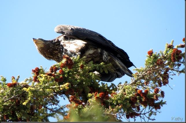 Bald Eagle over head
