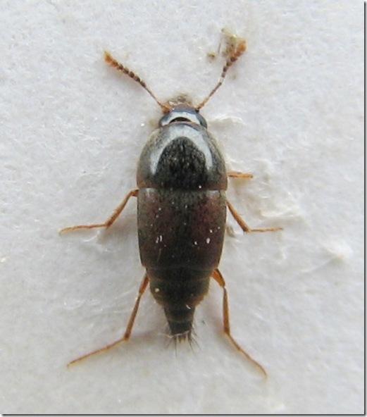 20120404 (6)  Sepedophilus marshami