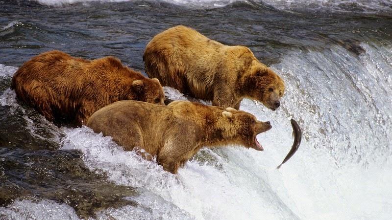 brooks-falls-bears-1