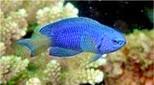 Polynésie demoiselle bleue
