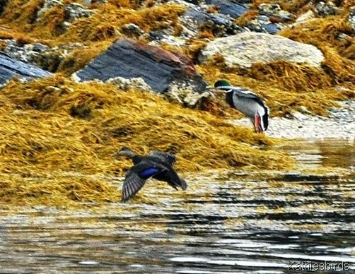 10. 12-21-14 ducks landing-kab