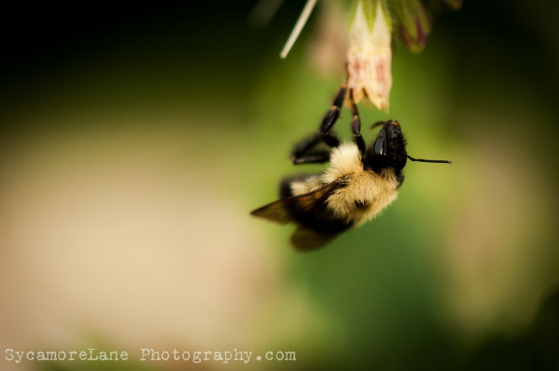 SycamoreLane Photography-bee