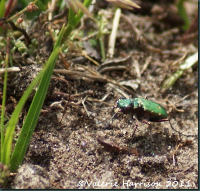 9-green-tiger-beetle