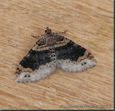 Twin-spotted-Carpet