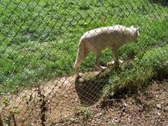 2010.09.04-021 loup du Canada