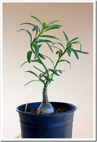 111219_Pachypodium-succulentum2