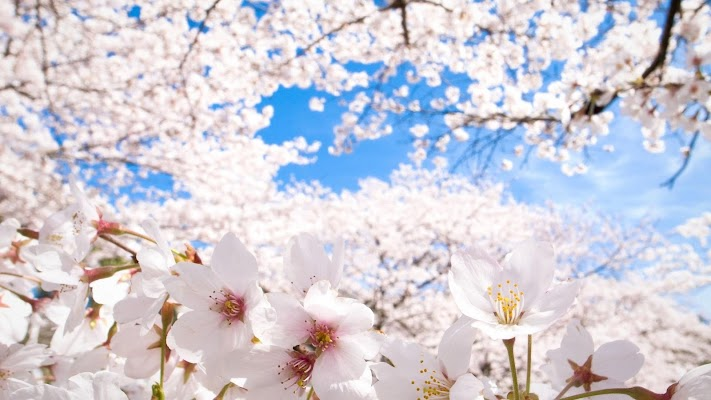 Cherry blossoms dating site login