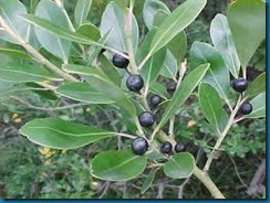ilex glabra - inkberries