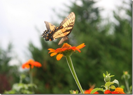 Tithonia, Mexican Sunflower, Tiger Swallowtail