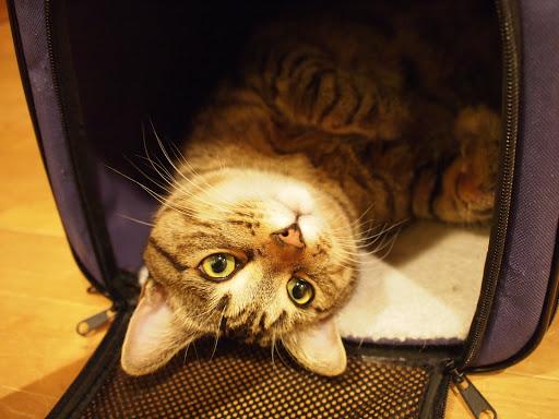 [写真]「猫小屋」ことキャリイーの中で仰向けに寝るグスタフ