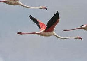Amazing Pictures of Animals, Photo, Nature, Incredibel, Funny, Zoo, Flamingos or Flamingoes, Phoenicopteridae,  Aves, Bird, Alex (11)