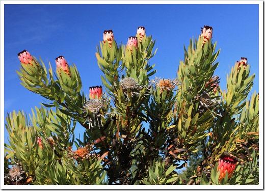 121027_UCSCArboretum_Protea-neriifolia_11