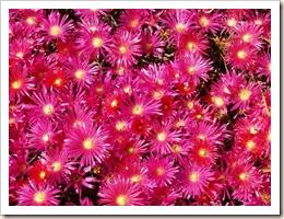 flores-do-campo