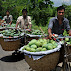mango taking to market Rajshahi Tour
