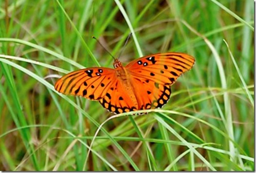 butterflies6