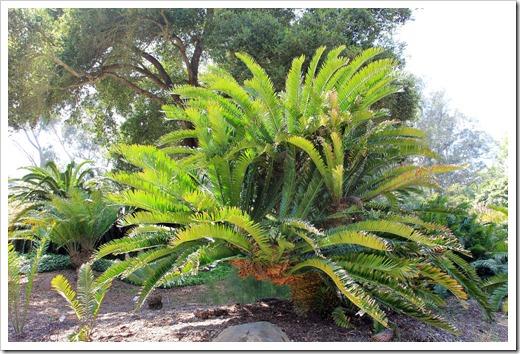 130403_Lotusland_Encephalartos-altensteinii_01