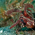 Ambon scorpion fish