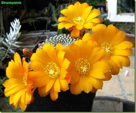 Rebutia marsoneri Sin Rebutia krainziana foto fiori