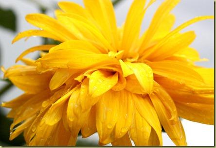 fluffy sunflower