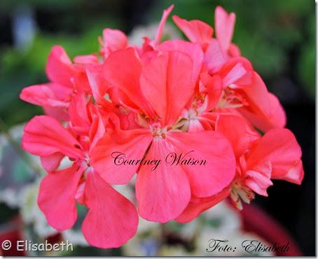 Pelargonium 16 juni -14 075