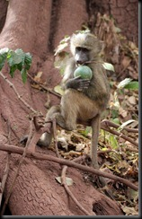 October 22, 2012 vervet monkey
