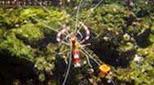 Biodiversité crevette à bandes