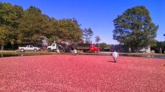 cranberry harvest 9.28.13 richards roadside bog