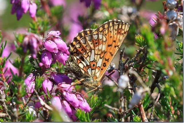 Small_Pearl-bordered_Frit-1