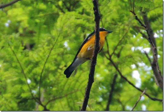 yellow rump flycatcher (2)