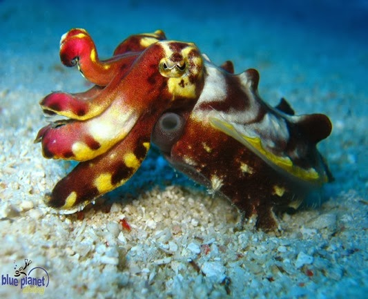 Amazing Pictures of Animals, Photo, Nature, Incredibel, Funny, Zoo, Metasepia pfefferi, Pfeffer's flamboyant cuttlefish, Alex (6)